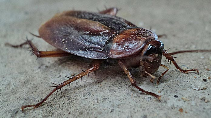 cockroach cockroaches