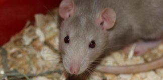rats rodents mice