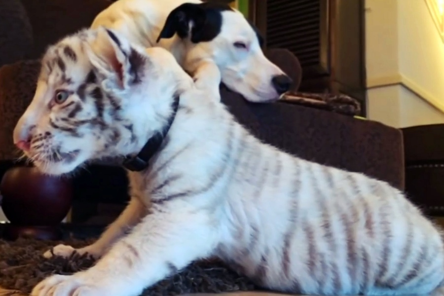 dog adopts tiger cubs