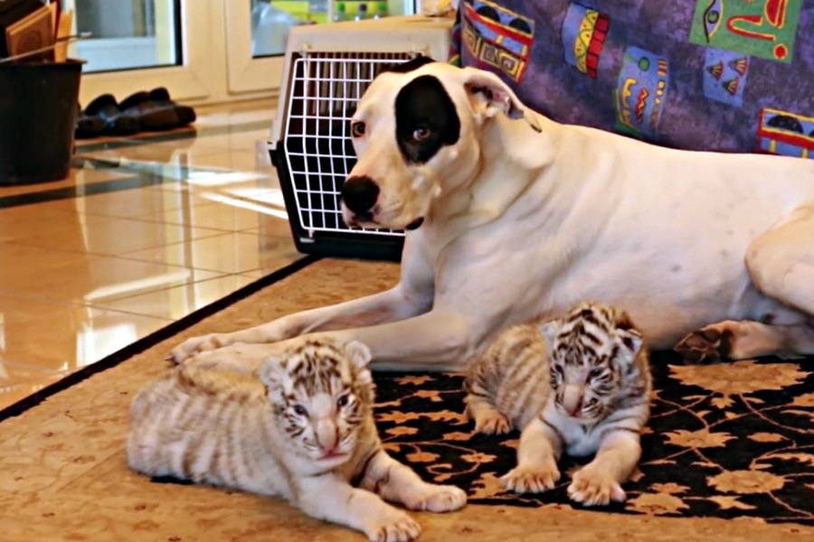 dog takes care of tiger cubs