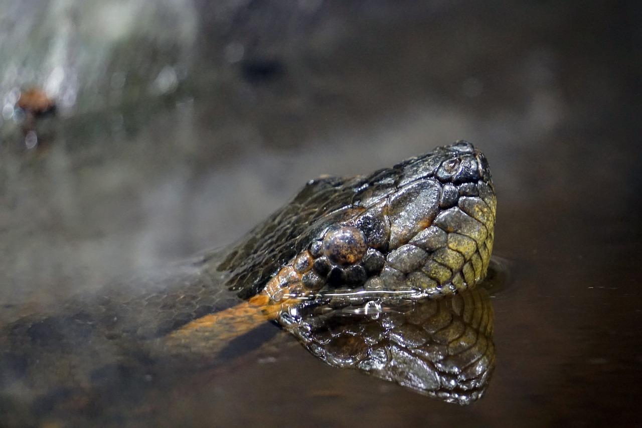Anaconda on the hunt - Source: Pixabay