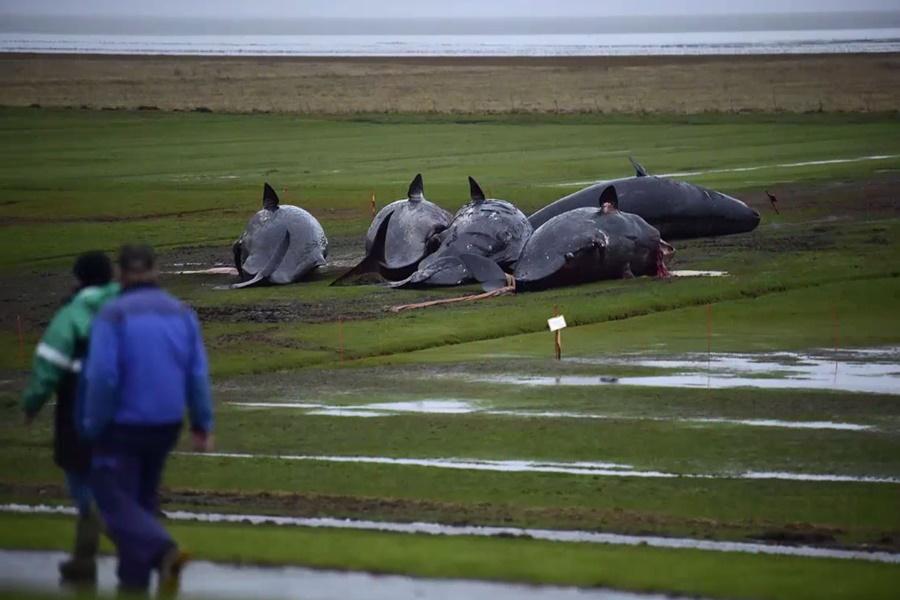 dead whales