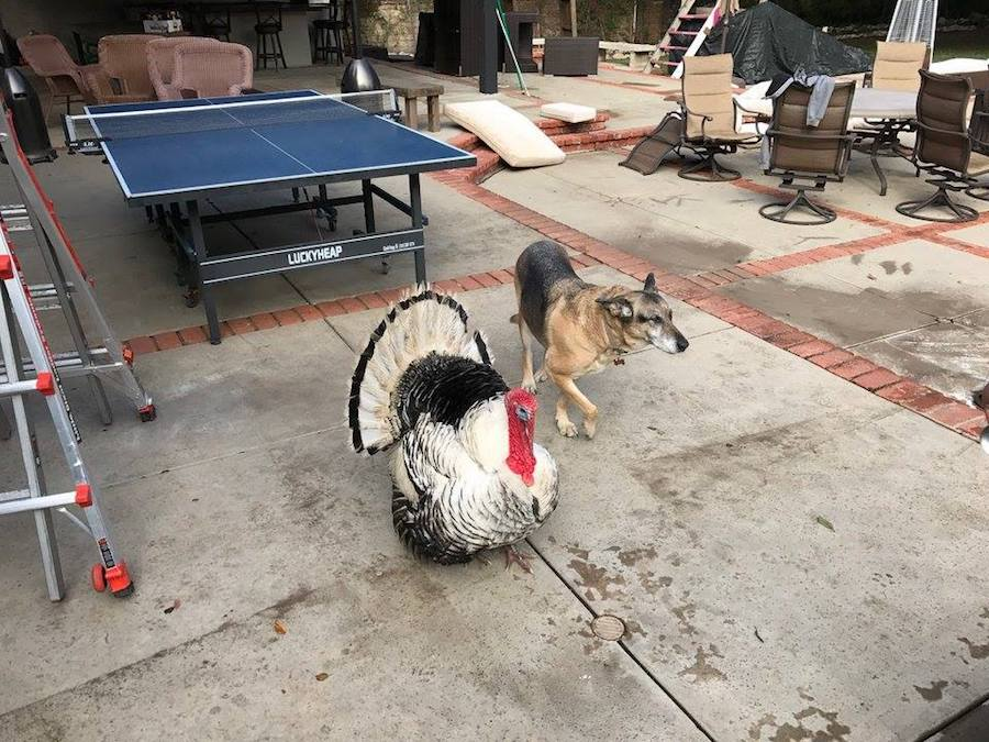 Source: Facebook/Albert The Turkey