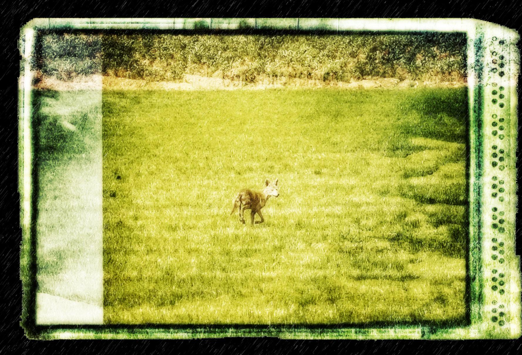 Coyote Pretty