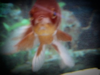 2404d-0693goldfish