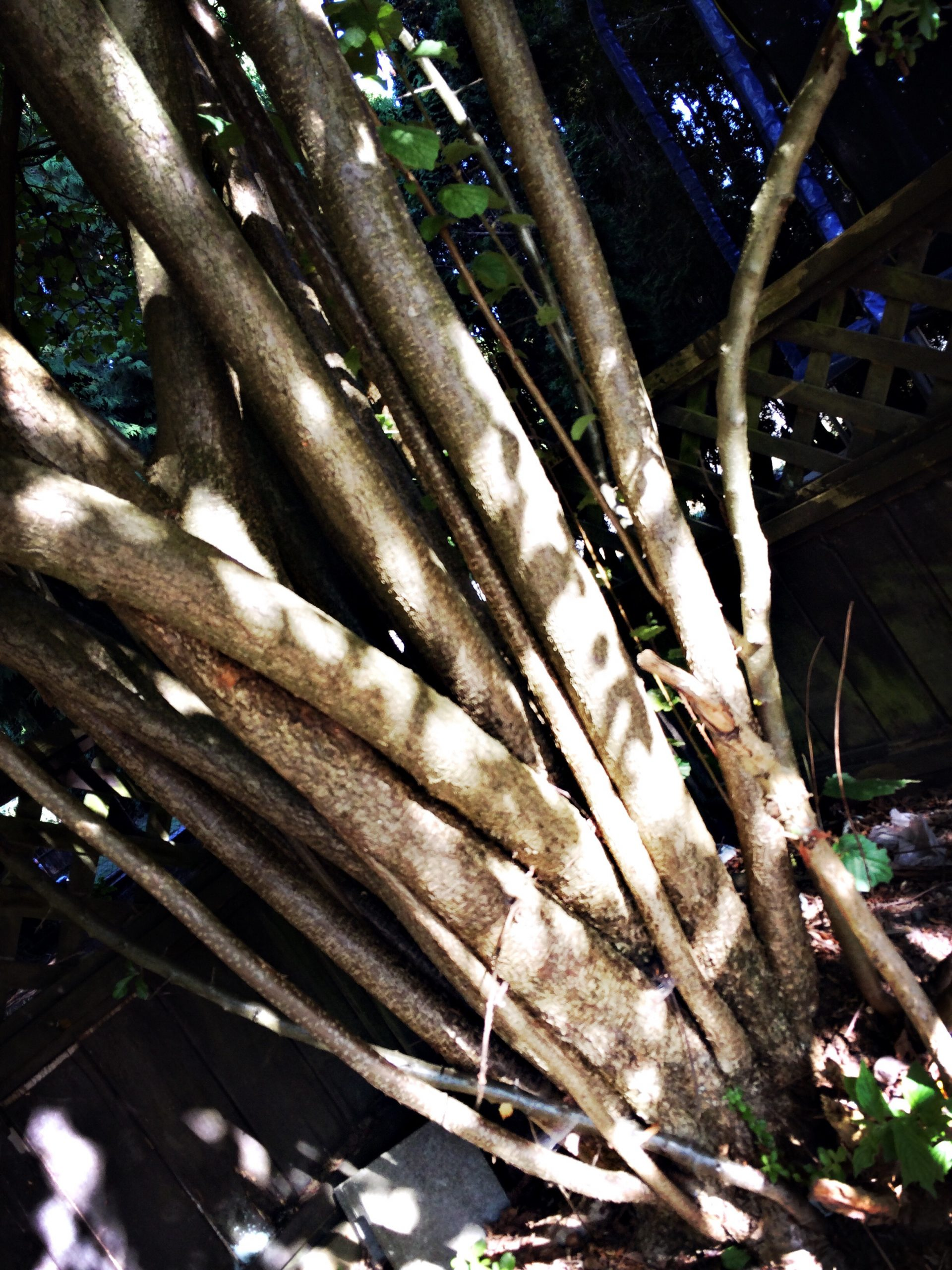 Ambitious tree