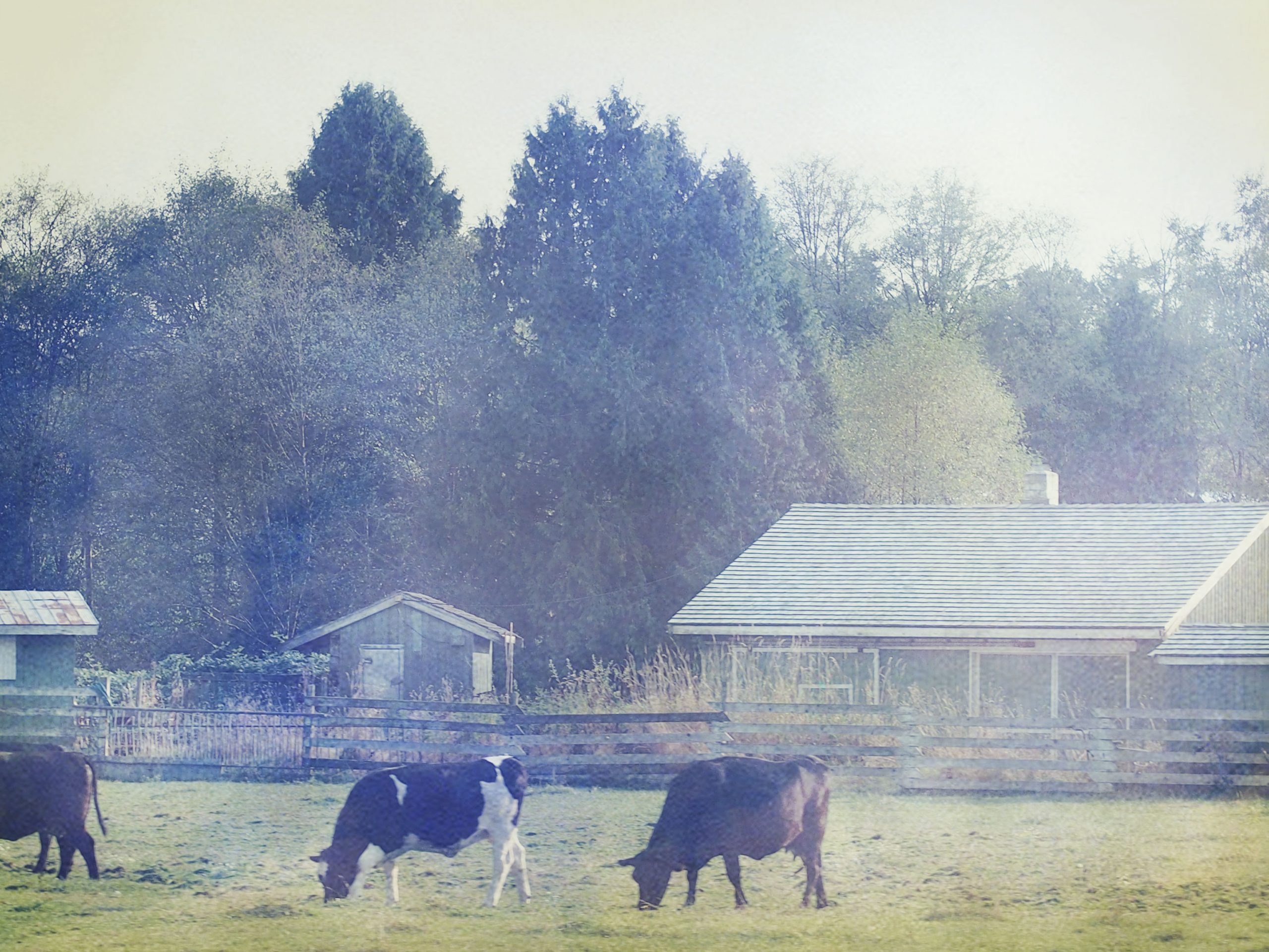 We Got Cows