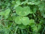 4-leaf_clover_(original)