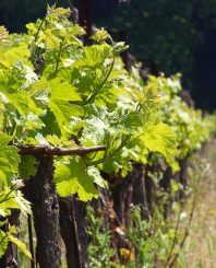 Grape Growing And Wine Making   The Total Wine Making System  Image of grape vines for wine making in europe Gy DnVP  827x1024