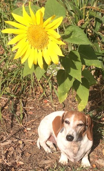Roo & Sunflower