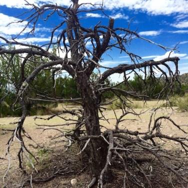 Tent Rock Tree