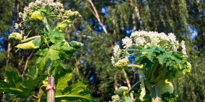 Plant in Virginia Found to Cause Severe Burns and Blindness (1)