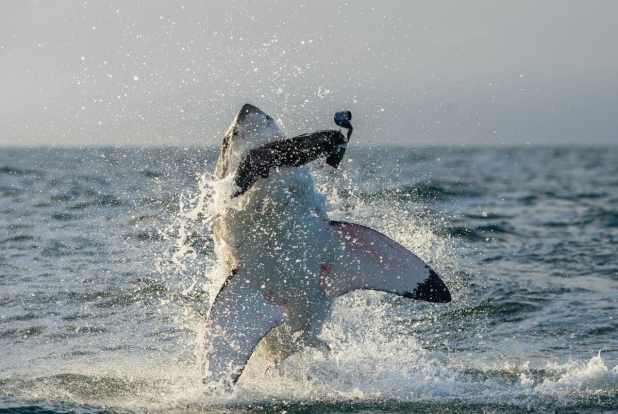 Eating Shark Meat is Dangerous and Unhealthy