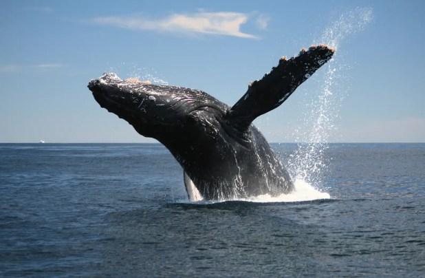 Adult Humpback Whale