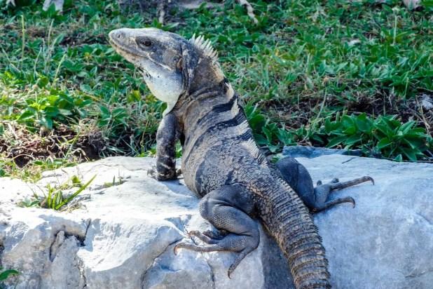 Iguana - Quintana Roo