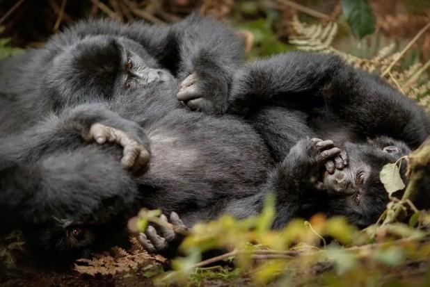 Wild mountain gorilla