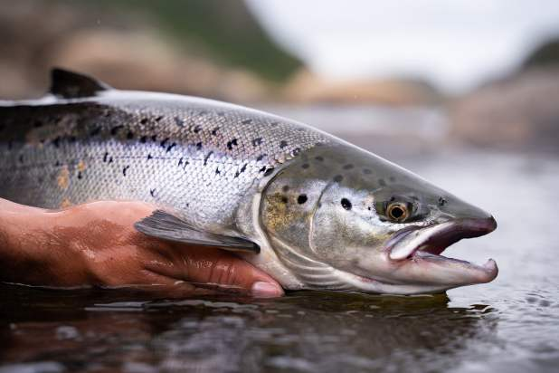Is Wild Salmon Becoming Extinct?