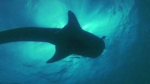 Juvenile Whaleshark