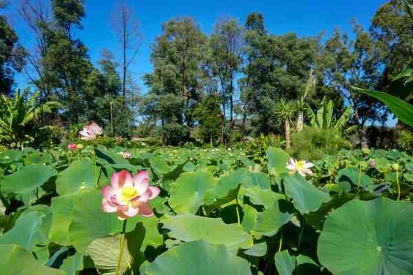 blue lotus water garden yarra