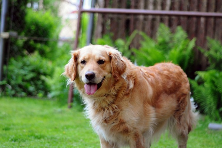 Best Shampoo for Golden Retrievers