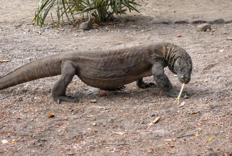A Komodo dragon sticking out its tongue at Komodo National Park in Labuan Bajo, Flores, Indonesia