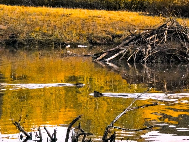 Beavers scaled - 3 Best Places for Fall Colors in Crested Butte, Colorado