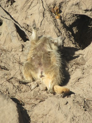A VERY relaxed meerkat