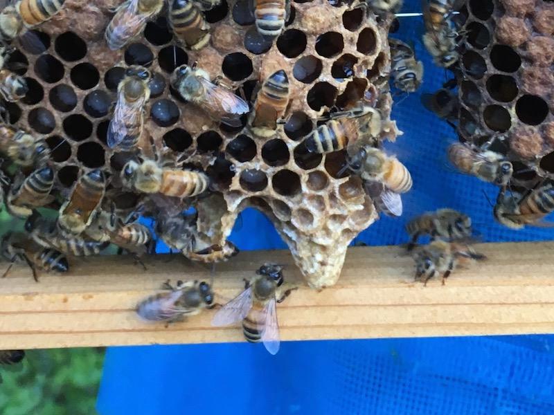 取り残した王台とミツバチの写真