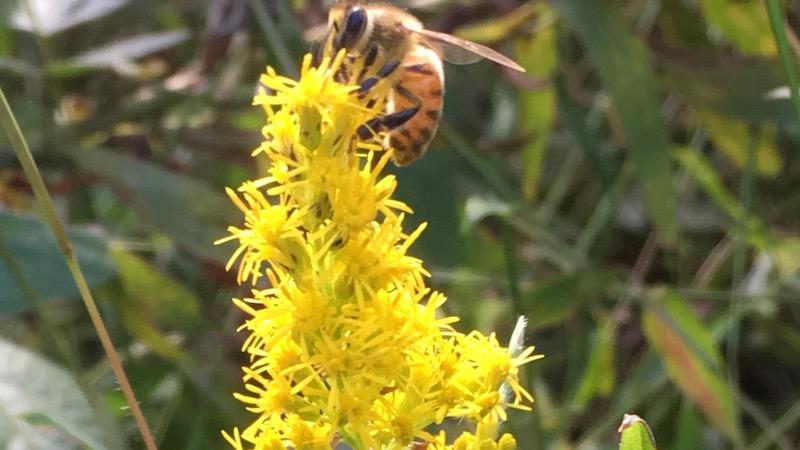 ミツバチとセイタカアワダチソウの写真