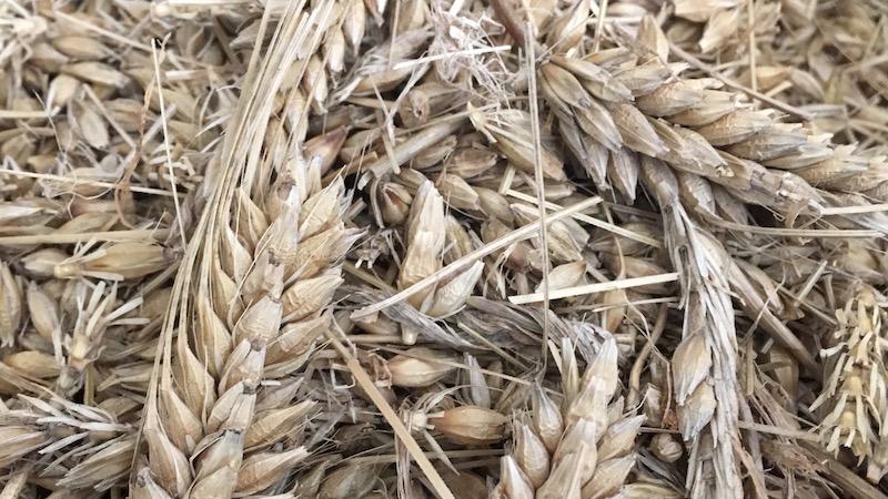 大麦(おおむぎ)を家庭用の精米機で精麦してみた