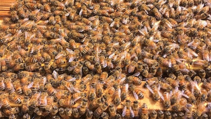ミツバチに煙をかけるのには理由がある
