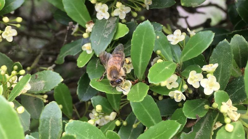 蜜源植物のはなし 生垣にも花は咲き、ミツバチが来ることを知る