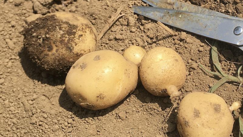 保管していたジャガイモの種芋を使ってみた