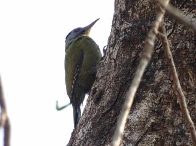Grey-hooded Woodpecker