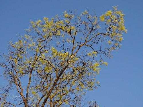 Ghiria Tree