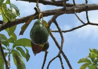 Avocado Pear