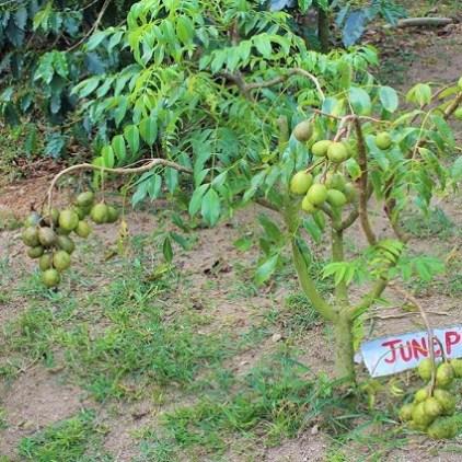 June Plum Jamaika