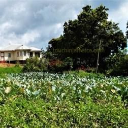 Kohlfeld Jamaika