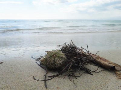 Seeigelgehäuse und Strandgut am Bluefields Beach- Südküste Jamaika