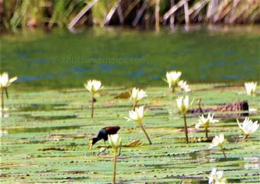 Black River Wasservogel