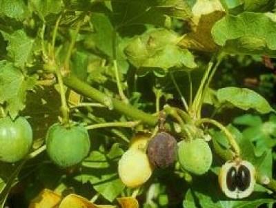 Brechnussbaum mit Früchten und Samen