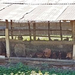Hühnerfarm auf Jamaika