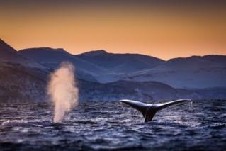 Veľryby keporkaky odpočívajúce v nórskej arktickej oblasti