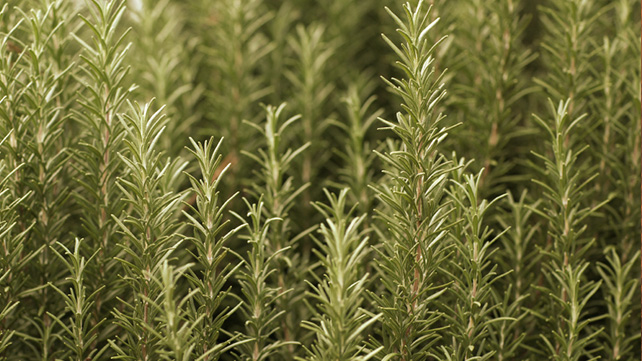 The Health Potential of Rosemary