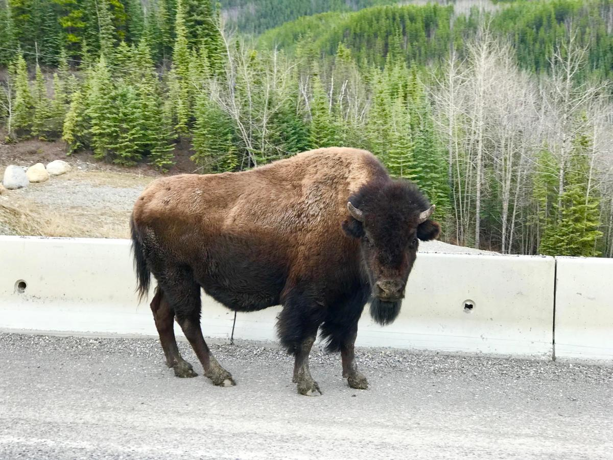 Bison-auf-Straße-in-Kanada