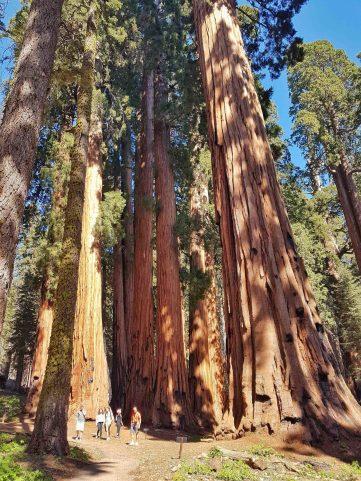 sequoias millenaires