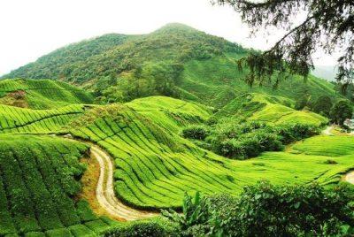 مزارع الشاي الاخضر في كاميرون