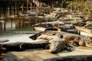 حديقة التماسيح Crocodile Farm