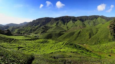 Cameron_Highlands_Tea_Plantation_2012