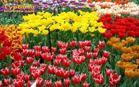 Квіткові тури / тюльпани в Кіровограді